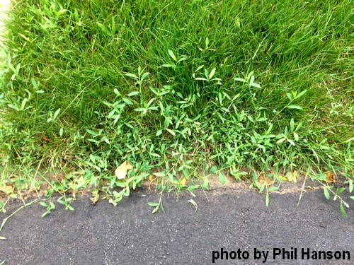 Common Knotweed- a Lawn Care problem weed