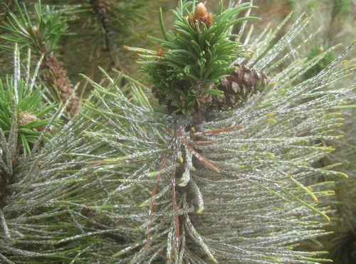 Pine Needle Scale Insects