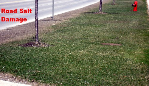 Road salt damages Lawns