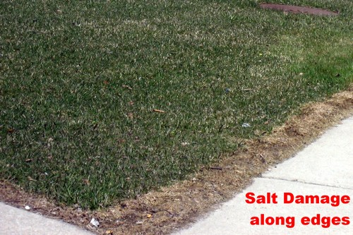 Salt for Ice can Damage Lawns
