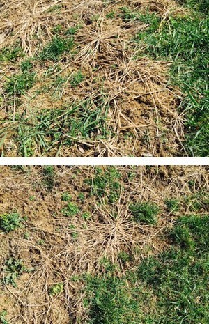 Crabgrass- a pain for Lawn Care providers in Stoney Creek